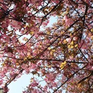 Cherryblossoms love 😍 Nature, Flowers, Lifestyle, Lifestyleblog, Blogger, Stylist, Salzburg, Austria, Beauty, Fantastique